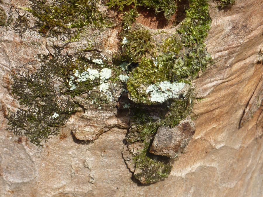 La Roche d'Or. Entretien. Lichens et mousses - détail