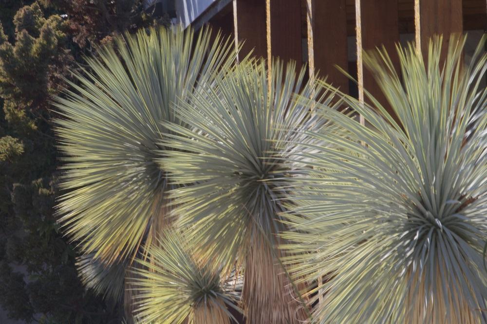 Les Fontanilles. Retraites : devant la chapelle - yuccas bleus mexicains
