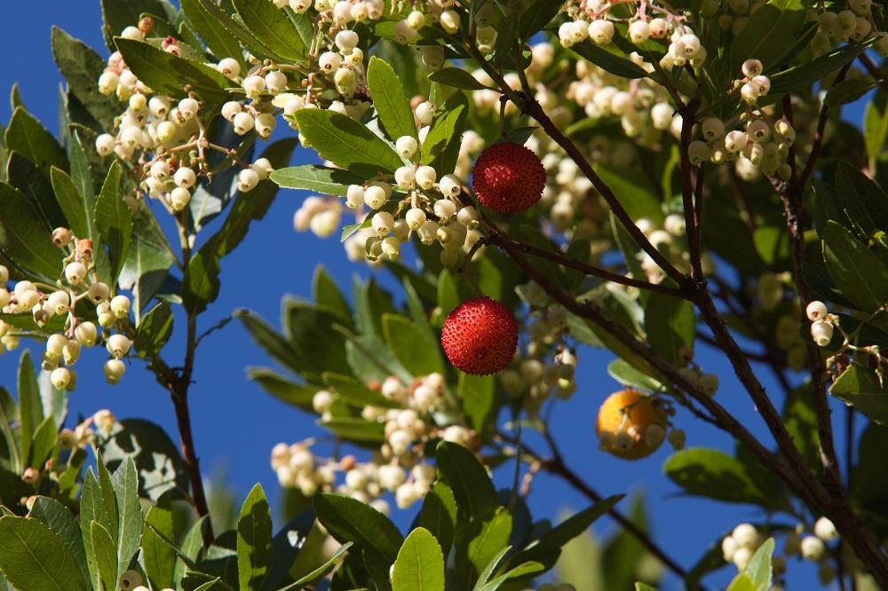 Arbousiers, fleurs et fruits